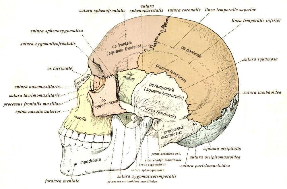 Free Anatomy Clipart Images