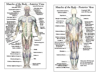 labeled diagram of muscles in the body – citybeauty, Muscles
