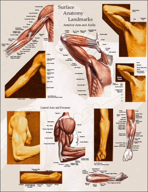 muscles of arm. Arm muscle surface anatomy