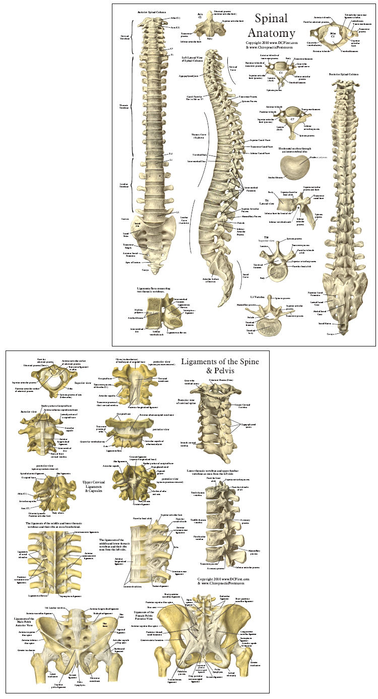 Spinal Reference Chart  Labeled Thoracic Vertebrae