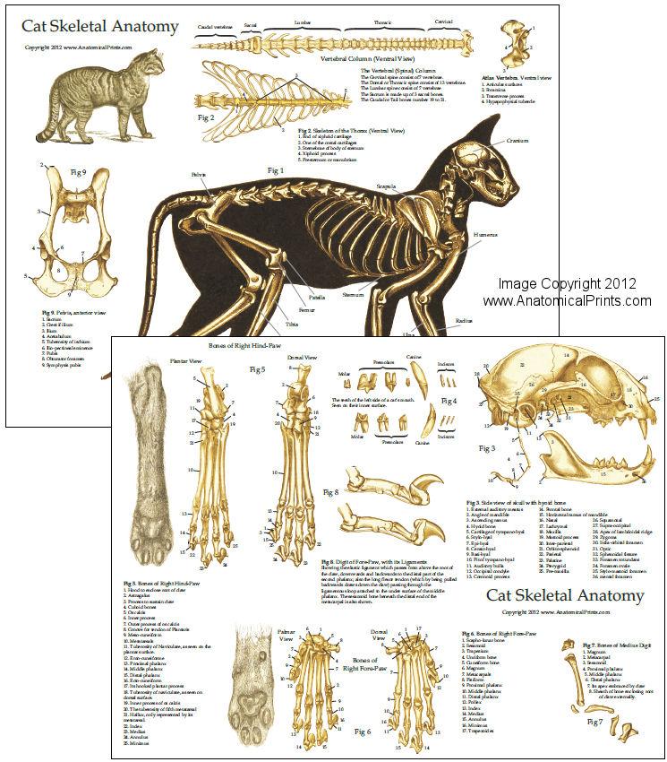 Female canine reproductive anatomy