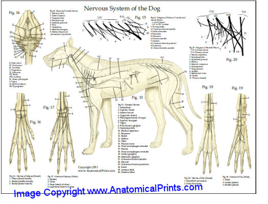 Cat And Dog Anatomy And Physiology