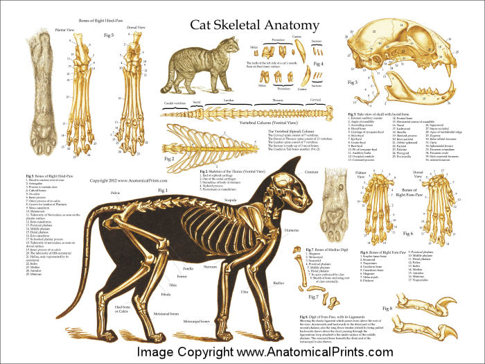 Cat Skull Anatomy Images amp Pictures Becuo