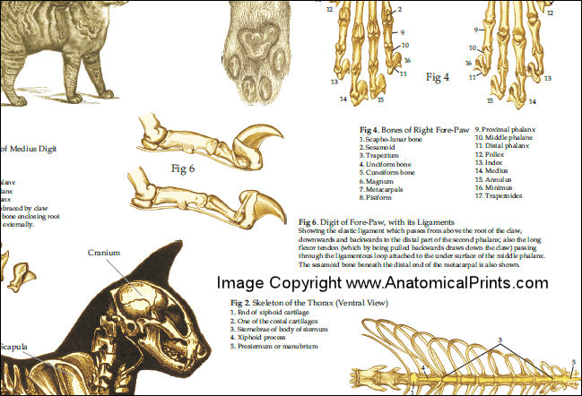 Cat spine anatomy