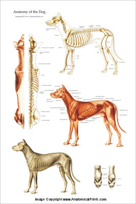 Dog anatomical charts and posters click to view ccuart Choice Image
