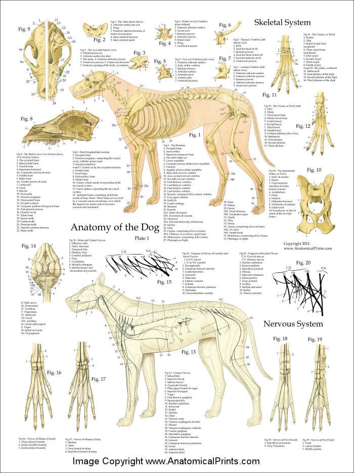 Dog Anatomy Poster Set 18 x 24