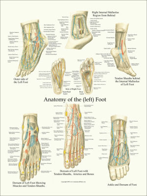 Anatomical charts and posters foot and ankle anatomy poster ccuart Image collections