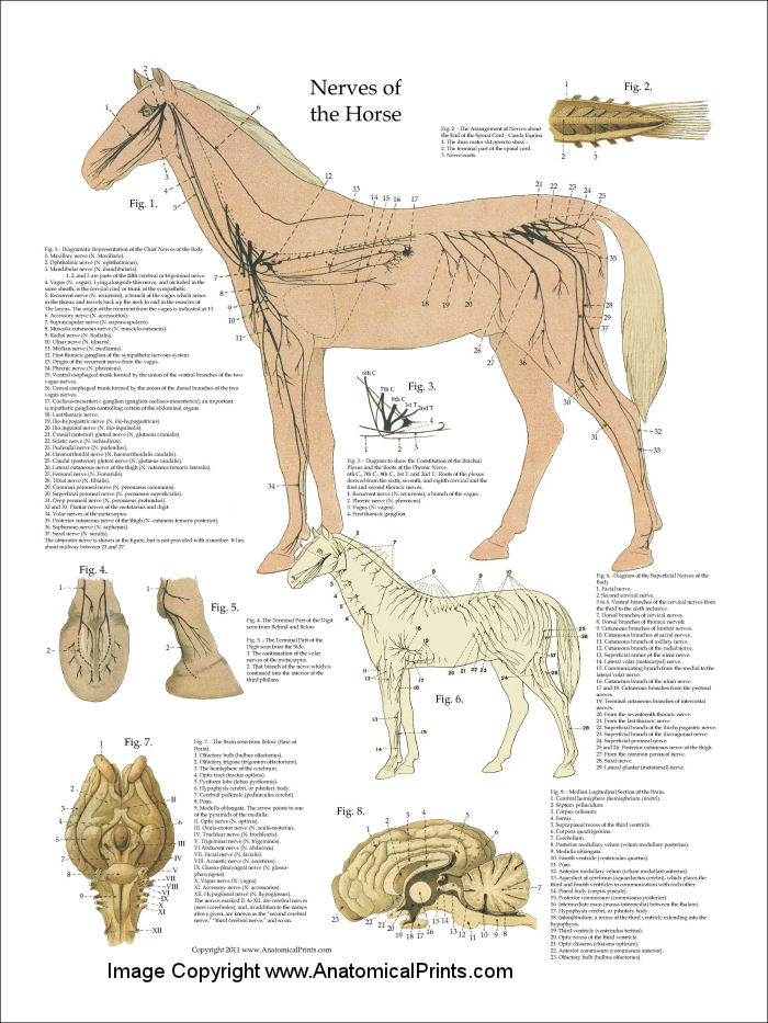 Horse Nervous System Anatomy Poster