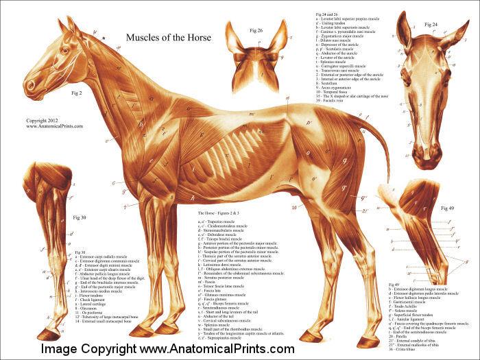 HorseAnatomyMuscles2012.jpg