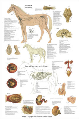 veterinary anatomy charts and posters