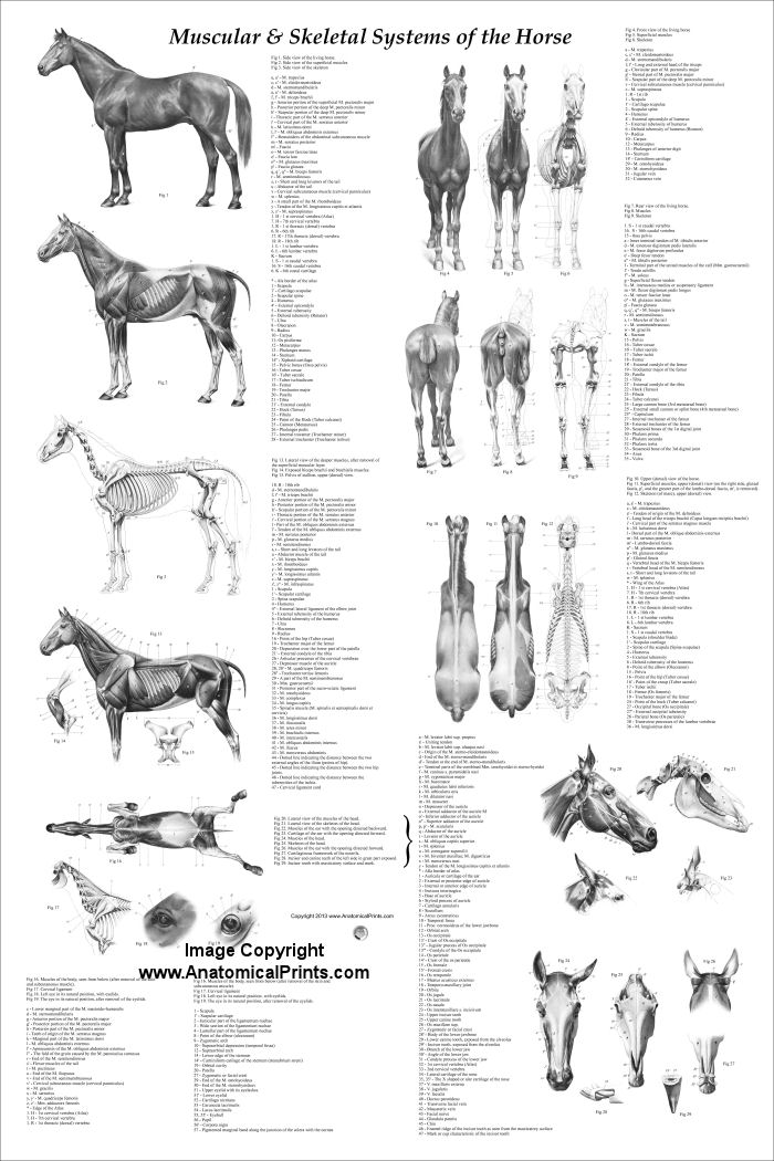 Horse Anatomy Coloring Book Horse anatomy pictures think like a
