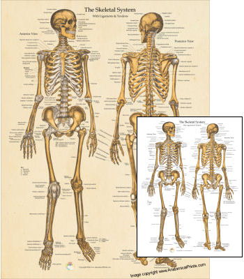 anatomical charts and posters, Muscles