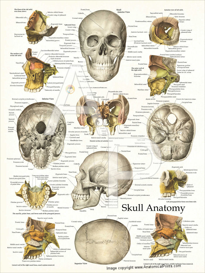 Anatomy skull pictures