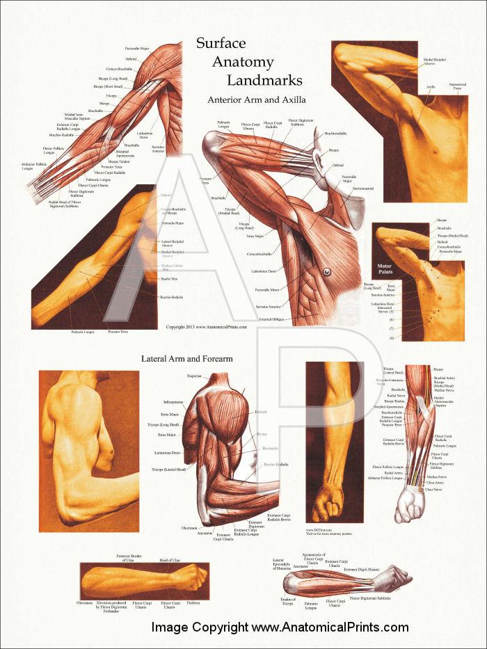 Body surface anatomy