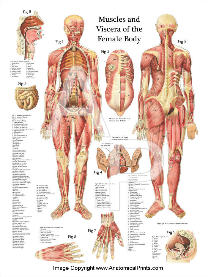 Woman Muscles Diagram Wiring Diagrams Lose