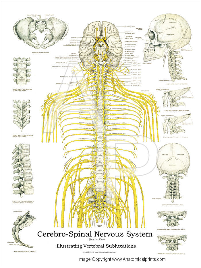 Nerves And Subluxations Poster