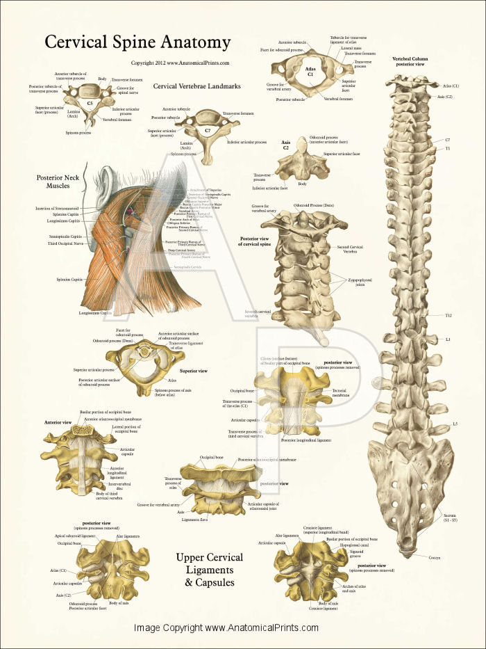 Cervical Spine Anatomy Poster