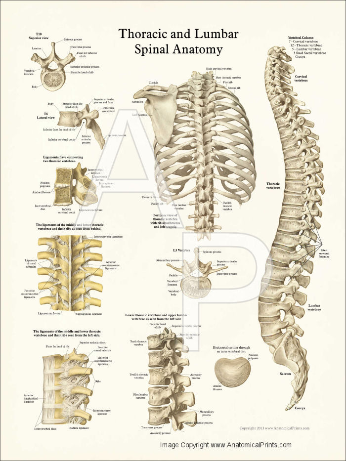 Thoracic Spine Anatomy Poster