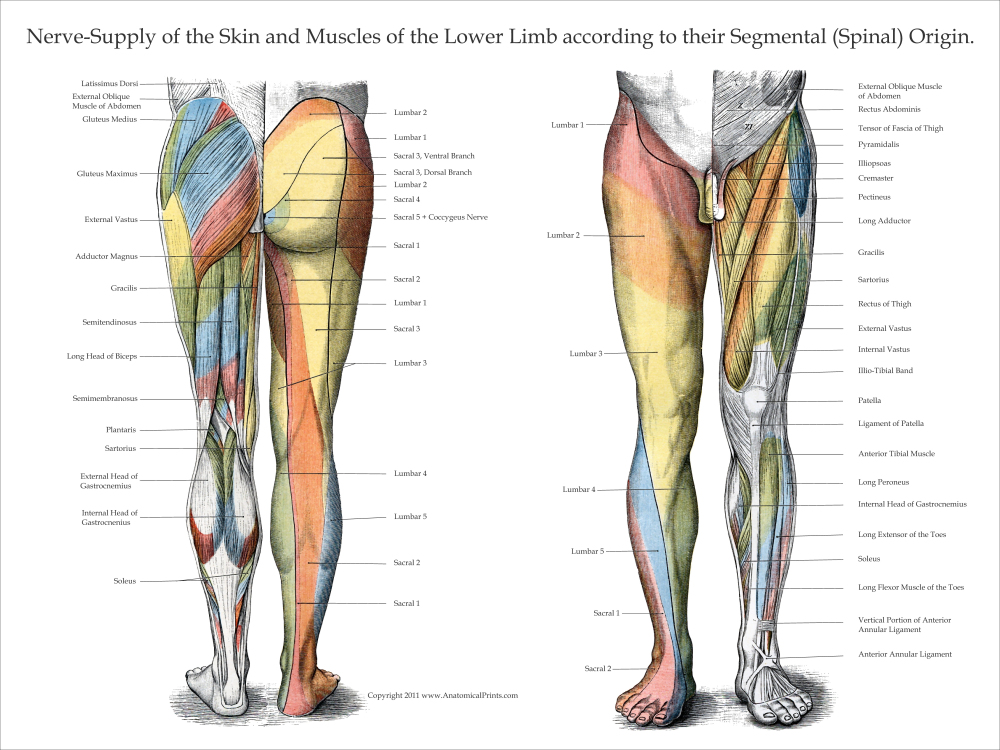 lower extremities diagram nerve innervation of upper and lower extremities  nerve innervation of upper and lower