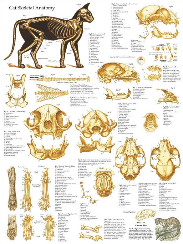 Beautiful Feline Skull Anatomy Inspiration - Anatomy And Physiology ...