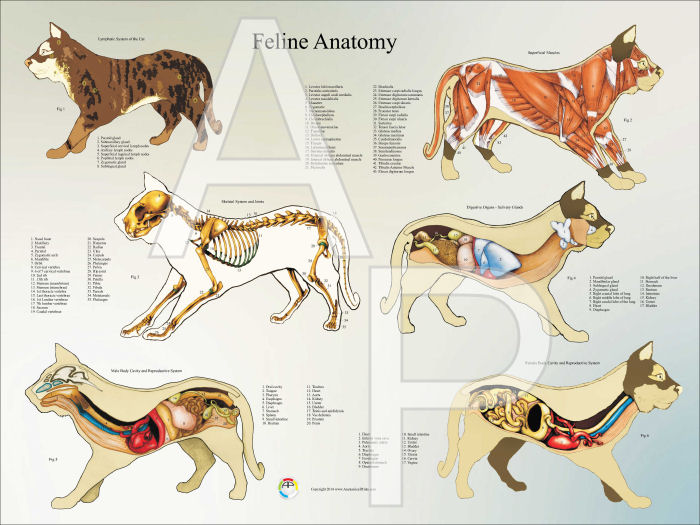 Male dog reproductive anatomy