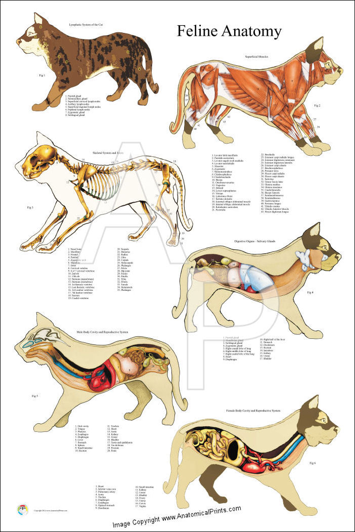 Cat Internal Anatomy Poster 24 X 36