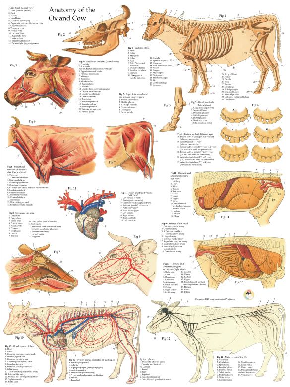 cow internal organs cow ox anatomy poster 7722