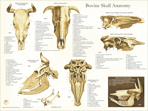Cow Teeth Anatomy