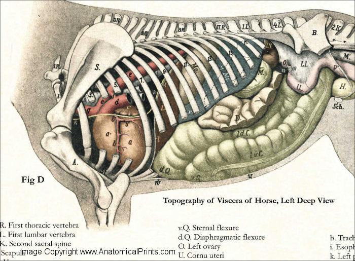 Dog Spleen Anatomy