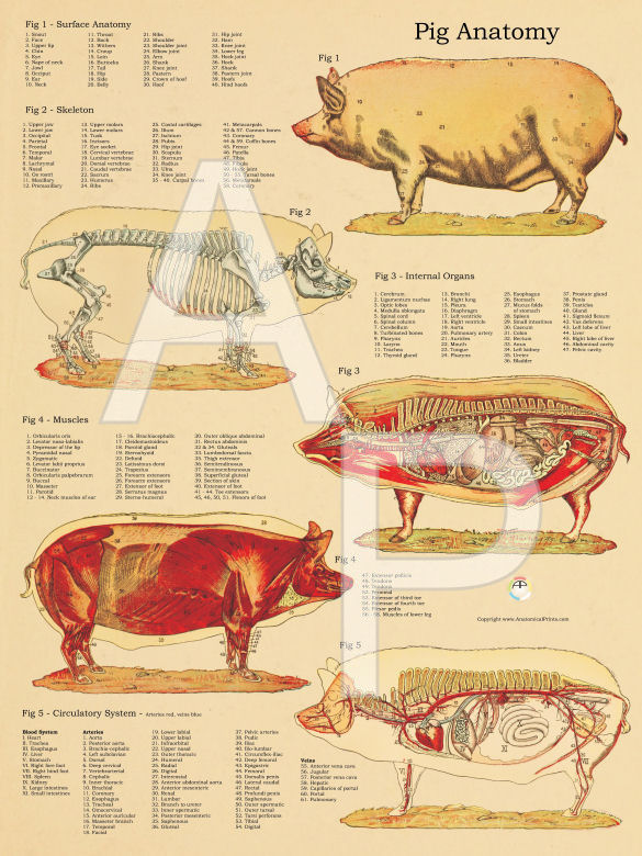 Anatomy of a pig