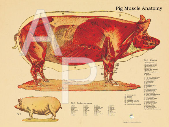 Pig Muscular Anatomy Poster