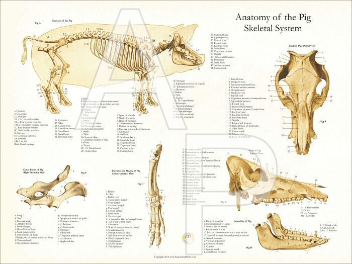 Skeletal Anatomy Poster