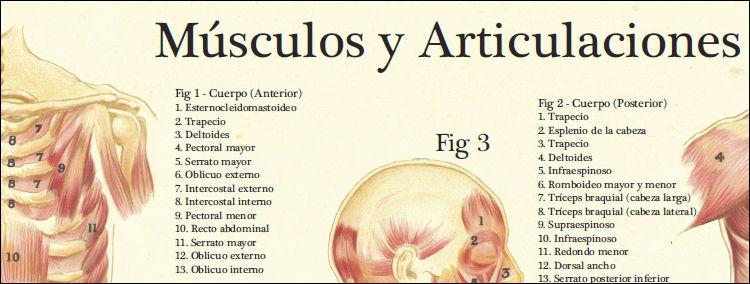 Musculos Y Articulaciones Anatomia
