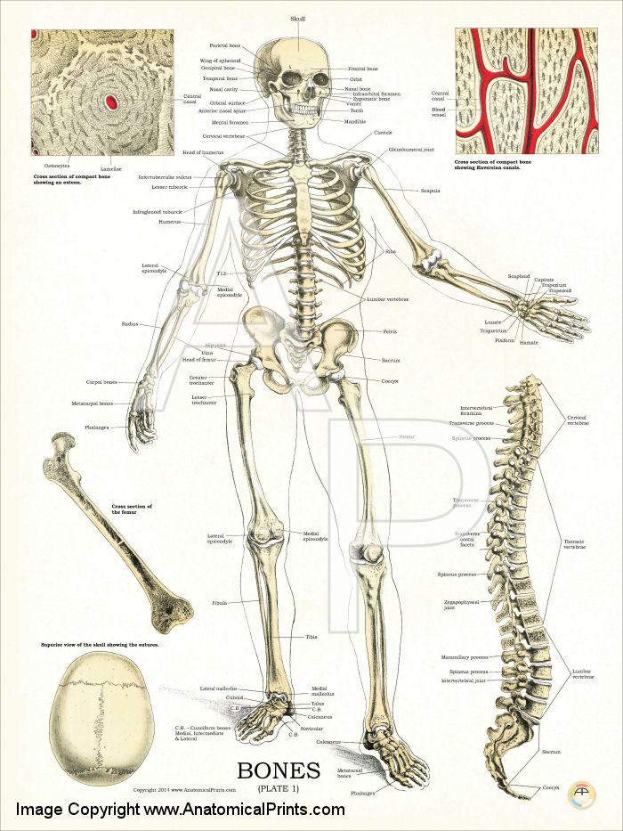 Human skeletal system anatomy