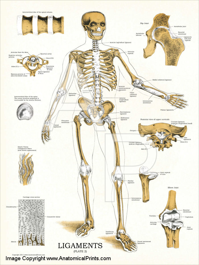 Ligaments and joints anatomy chart 18 x 24 ligaments plate 2 18 x 24 laminated or heavy weight paper ccuart Images