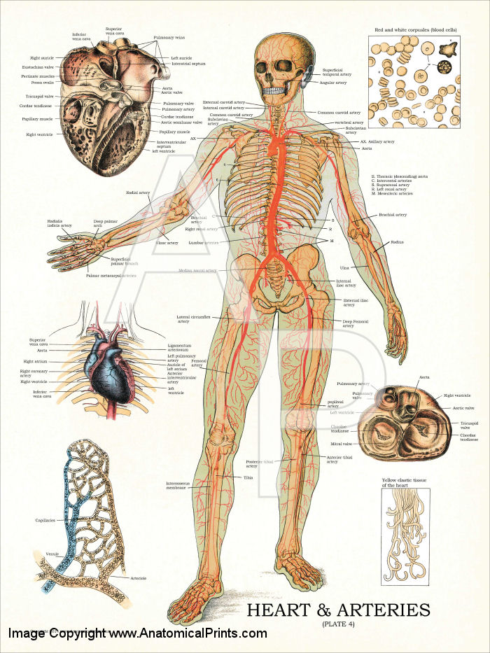 Introduction to anatomy and physiology essay College paper Help ...